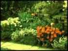 "Hoekje, ""Flora"" met tulpen. Heemstede"