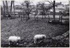 Twee schapen bij de Rijnsburgstraat