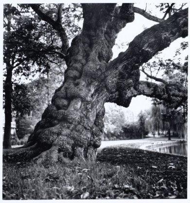 Een oude boom in het Vondelpark