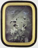 Miniaturansicht Vorschau von Mohnblumen. Die Aufnahme des Mohns wurde bei …