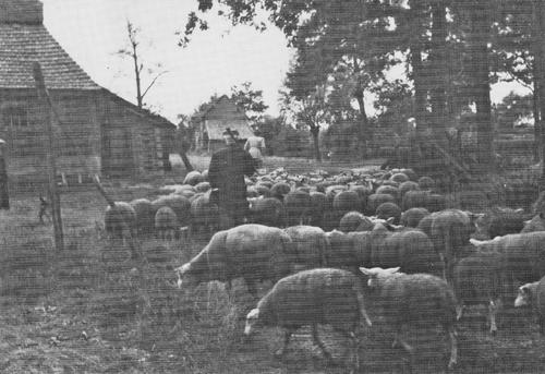 Wieske van den Heuvel met kudde schapen