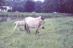 Pony met veulen bij het Zwanenwater. Op de achterg...