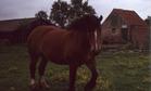 Adinkerke: boerenpaard Kamiel Rabaey