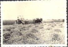 Hollebeke: het pikken van tarwe