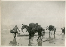 De Panne: twee garnaalvissers te paard ledigen hun net