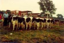 Roeselare: Hollebeekse koe neemt deel aan prijskamp