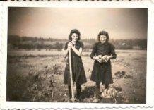 Hollebeke: aardappelen rooien