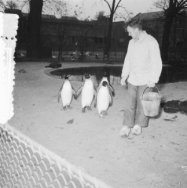 Pinguins in Artis