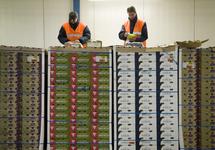 Controle van dozen met druiven bij Kloosterboer Vlissingen.