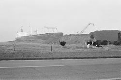 Massagoedhaven in het prille begin, er staan nog koeien in de weide.