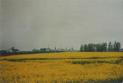 Landbouwgrond met waarschijnlijk koolzaad ter plaatse van de te...