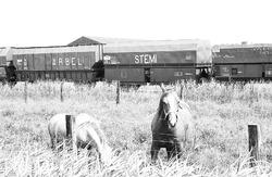 Trein in het havengebied van Terneuzen. Op de voorgrond een paard....