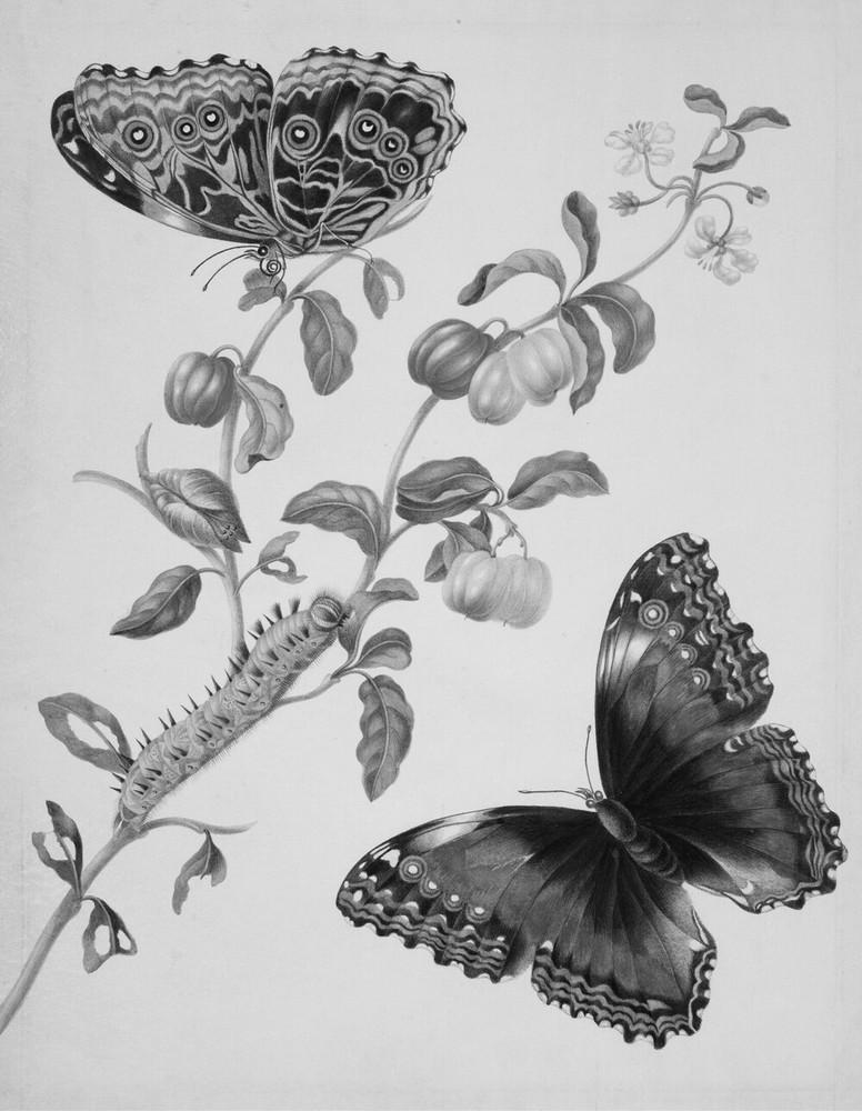 Metamorphosis insectorum Surinamensium. Ofte Verandering der Surinaamsche insecten