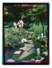 Jacob Marisstraat 88-hs. De tuin van de familie Eilers, een petunia