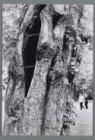 Vergane glorie: een holle kastanjeboom in het Vondelpark