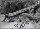Vondelpark. Omgevallen kastanjeboom