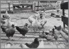 Zomerserie: ganzen en kippen nabij een hofje aan de Mauritskade