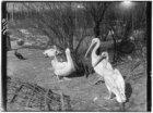 Pelikanen in dierentuin Artis (Natura Artis Magistra), Plantage Kerklaan 40