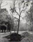 Vondelpark. Dode boom als gevolg van de hoge grondwaterstand