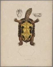 Studie van een Schildpad