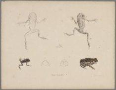 Studie van kikkers (Leptobrachium hasseltii). Litho, ten dele handgekleurd