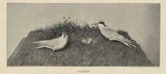 Artis, visdiefjes bij nest met eieren