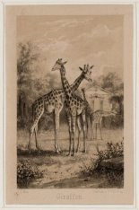 Natura Artis Magistra, Plantage Kerklaan 40. Gezicht op de giraffen. Techniek: s…