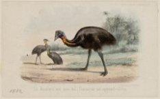 Kasuaris (loopvogel)