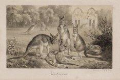 Kangaroe-perk