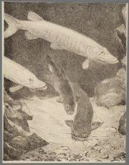 Snoekbaarsen en meerval in een aquarium