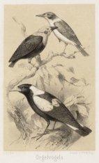 Orgelvogels