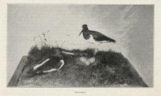 Artis, scholeksters bij nest