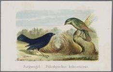 Satijnvogel