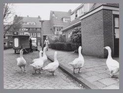 De ganzen van Betondorp (Watergraafsmeer) op de Zaaiersweg