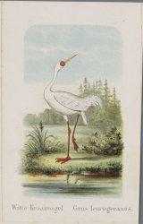 Witte kraanvogel