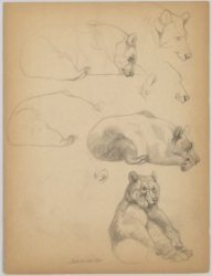 Artis, Plantage Kerklaan 40. Blad met studies van een bruine beer