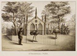 Struisvogel-perk