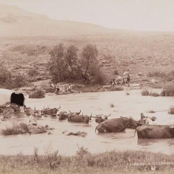 Runderen trekken een huifwagen door de Krokodillenrivier