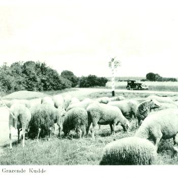 Op de Veluwe. Grazende Kudde