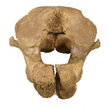 nekwervel van een mammoet, tweede nekwervel