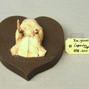 Ree; schedeldak; op plank gemonteerd (Capreolus capreolus)