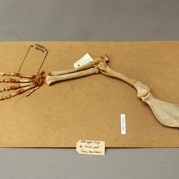 Hond; skelet voorpoot grote hond; op strokarton; vetuitslag; schimmel (Canis lupus familiaris)