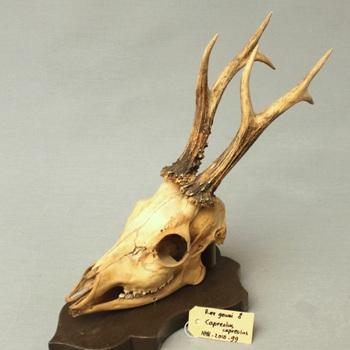 Ree; schedel met onderkaak; op plank gemonteerd (Capreolus capreolus)