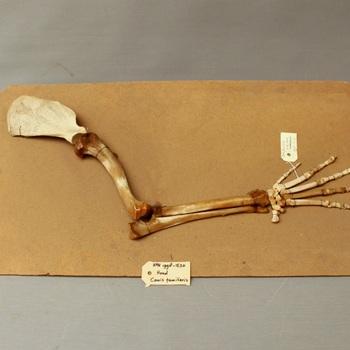 Hond; skelet voorpoot grote hond; op strokarton; vetuitslag (Canis lupus familiaris)