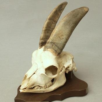 Geit; schedel met onderkaak; op plank gemonteerd (Capra hircus)