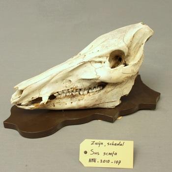 Zwijn; schedel met onderkaak; op plank gemonteerd (Sus scrofa)