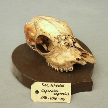 Ree; schedel; op plank gemonteerd; beschadigd (Capreolus capreolus)
