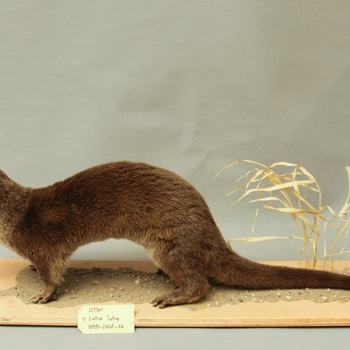 Otter, 'otter van Doesburg' (Lutra lutra)