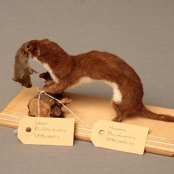 Oostelijke huismuis; ooit als prooi  van wezel, bewaard om opnieuw te gebruiken als prooi (Mus musculus)