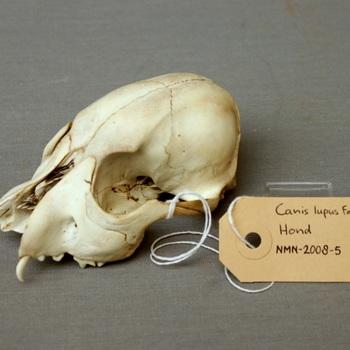 Hond; schedel; schade; verweerd; missende onderdelen (Canis lupus familiaris)